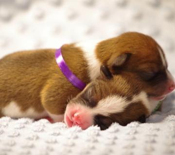 puppies_12